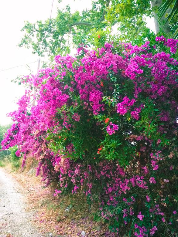 Η Πάτρα, «στολισμένη» με τα ζωντανά χρώματα που προσφέρουν οι μπουκαμβίλιες! (φωτο)