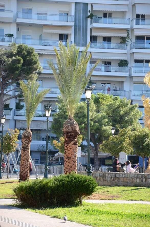 Πάτρα: Οι φοίνικες πήραν και πάλι την θέση τους στην πλατεία Υψηλών Αλωνίων (φωτο)