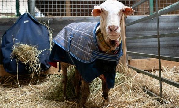 Μπαράκ - Το πρόβατο που έχασε... 35 κιλά μαλλί
