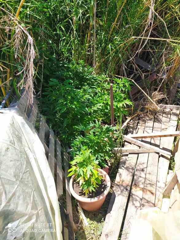 """""""Τσάκωσαν"""" καλλιεργητή ναρκωτικών στο Μεσολόγγι - Κατασχέθηκαν 46 δενδρύλλια κάνναβης (pics)"""