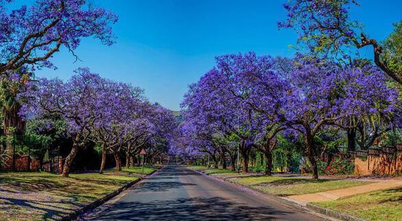 ΚοινοΤοπία: Η μπλε-λιλά-μωβ πινελιά της Γιακαράντας στο αστικό μας τοπίο