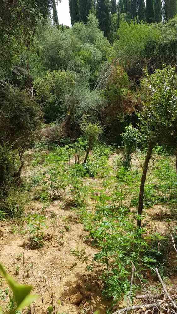 Ηλεία: Κατασχέθηκαν 116 δενδρύλλιακάνναβης (φωτο)