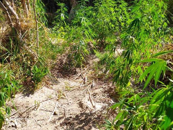 Συνελήφθησαν δύο καλλιεργητές ναρκωτικών σε περιοχή της Αιτωλοακαρνανίας (φωτο)