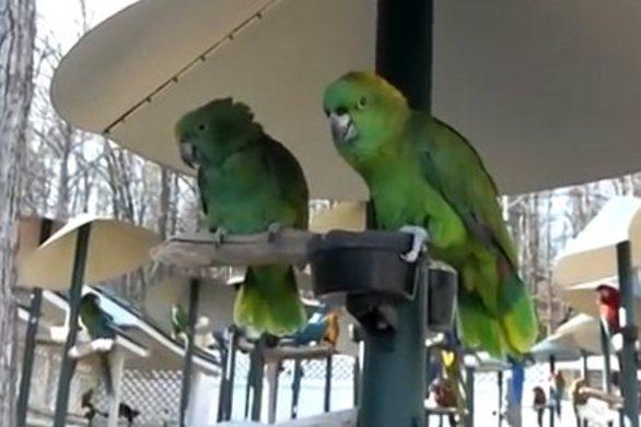 2 μικροί παπαγάλοι μαλώνουν σαν... παντρεμένο ζευγάρι (video)