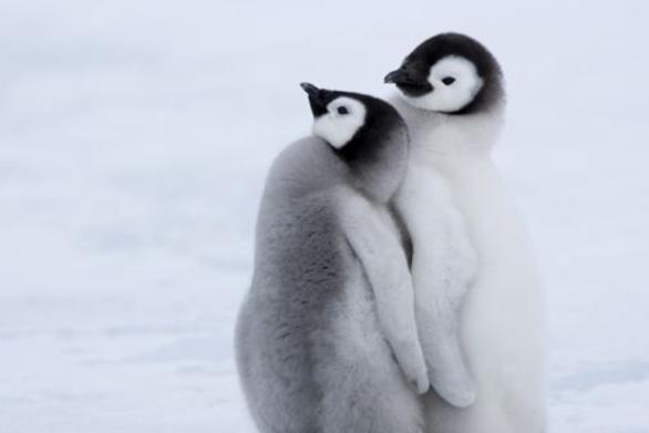 Τα ζευγάρια πιγκουίνων ζουν μακριά κι αγαπημένοι!