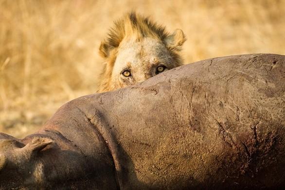 """Έτσι τρώει ο """"Βασιλιάς της ζούγκλας""""! (pics)"""