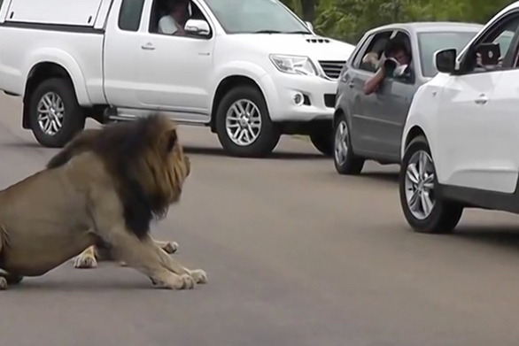 Λιοντάρι έδειξε σε τουρίστα τη σκληρή του πλευρά (video)