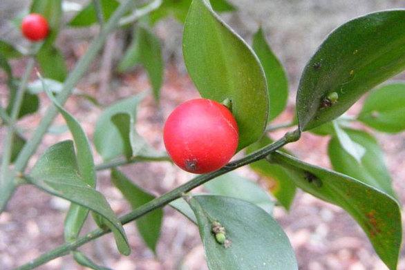 Λαγομηλιά: Το φυτό που βγάζει καρπούς στα... φύλλα του (pics)