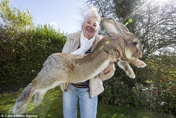 Δείτε το μεγαλύτερο κουνέλι στον κόσμο! (pics+video)