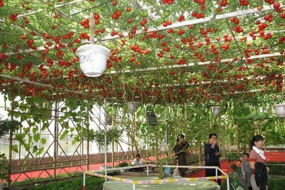 """10.000 ντομάτες """"βγήκαν"""" από μία μόνο ντοματιά! (pics)"""