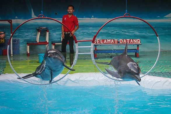 Τα βασανιστήρια που υπομένουν τα δελφίνια στα τσίρκο της Ινδονησίας (pics)