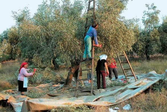 Ακαρπία έχουν οι ελιές στην Ηλεία - Ανησυχούν οι ελαιοπαραγωγοί