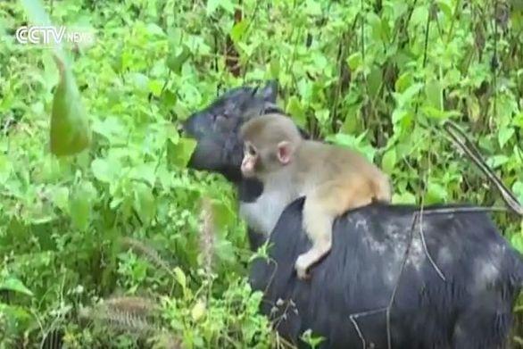Μαϊμού χρησιμοποιεί κατσίκα για την μεταφορά της (video)