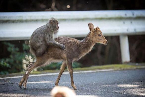 Μαϊμού προσπάθησε να κάνει σεξ με ελάφι (video)