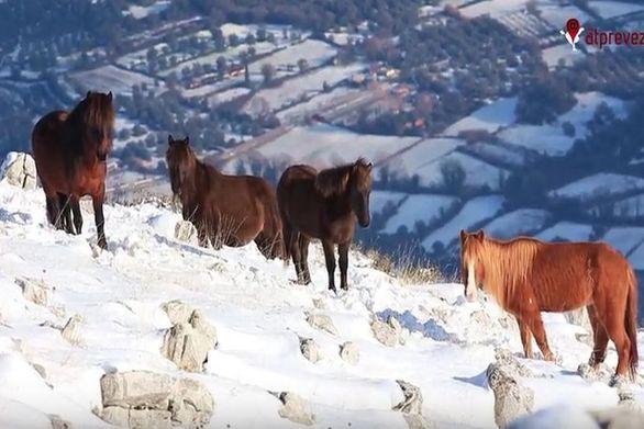Τα άγρια άλογα στις χιονισμένες βουνοκορφές της Πρέβεζας (video)