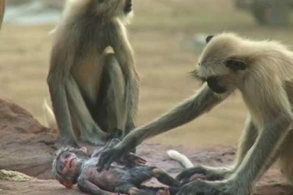 Μαϊμούδες θρηνούν τον «θάνατο» μιας μαϊμούς-ρομπότ (video)