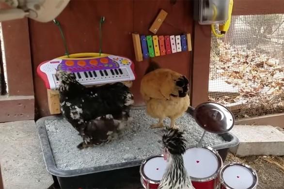 Η πρώτη μπάντα από... κότες (video)