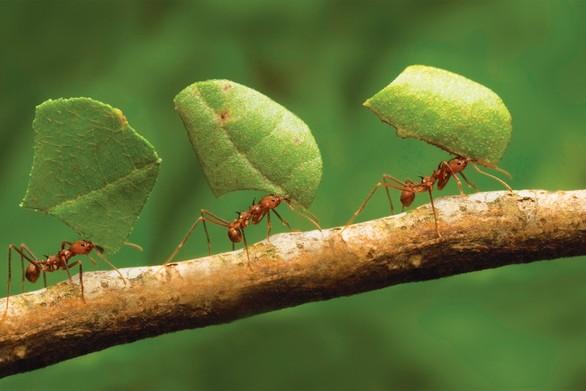 Τα μυρμήγκια μεταφέρουν μετά από μία μάχη τους τραυματισμένους «στρατιώτες» τους (video)