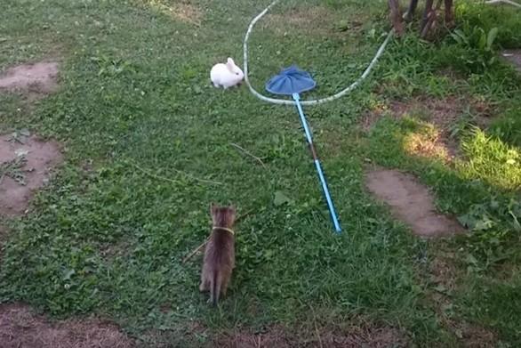 Γάτα ανακαλύπτει πόσο δύσκολο είναι να κυνηγάς ένα κουνέλι (video)