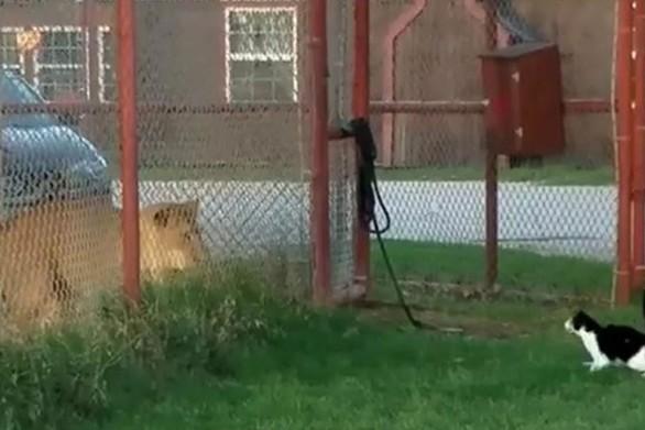 Γάτα τα βάζει με λιοντάρι (video)