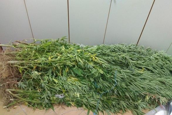 Αποτέλεσμα εικόνας για Συνεχίζονται οι συλλήψεις καλλιεργητών ναρκωτικών στη Δυτική Ελλάδα