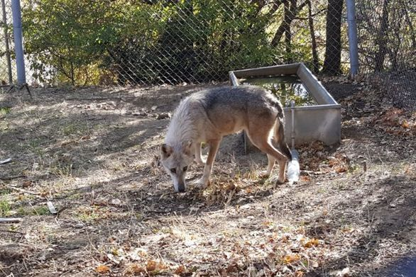 Ο Αρκτούρος υιοθέτησε δύο λύκους!