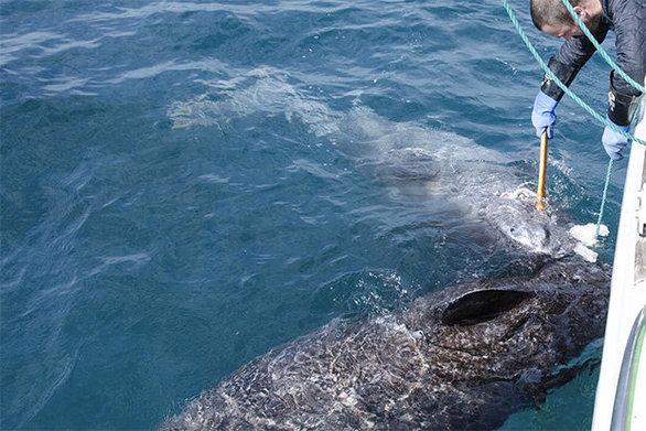 Ψάρεψαν καρχαρία που πιστεύεται ότι είναι ηλικίας... 512 ετών (φωτο)
