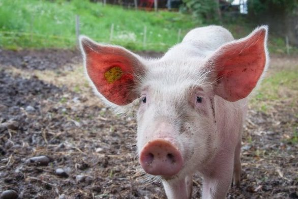 Γουρούνι τα βάζει με όλους για να σώσει τον «φίλο» του από σφαγή (video)