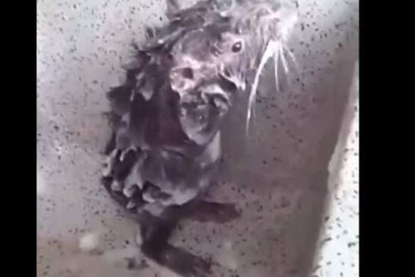 Αρουραίος κάνει μπάνιο με σαπούνι σαν κανονικός άνθρωπος (video)