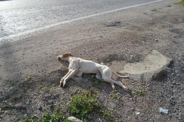 Ηλεία - Άγνωστος έδωσε σε σκύλο δηλητηριασμένη τροφή