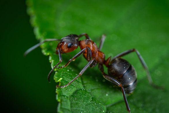 Μυρμήγκια έφτιαξαν «γέφυρα» για να επιτεθούν σε φωλιά με σφήκες (video)