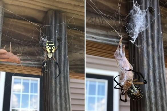 Αράχνη τυλίγει το γεύμα της για αργότερα - Δείτε video