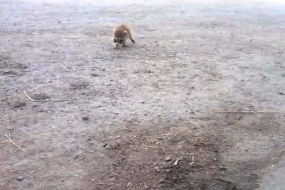 Ρακούν έχει αφοσιωθεί στον άνθρωπο που τον έσωσε (video)