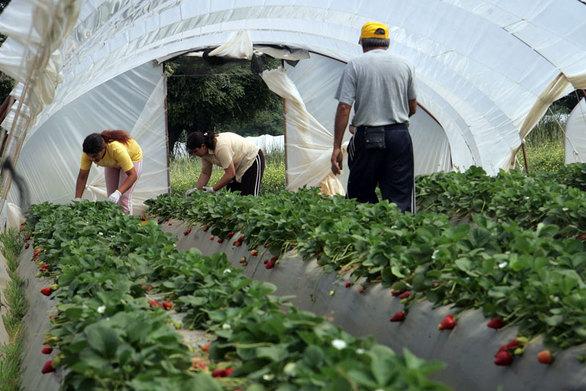 Μανωλάδα: Παρέμβαση του Αρείου Πάγου κατά της αθώωσης για τις «ματωμένες» φράουλες