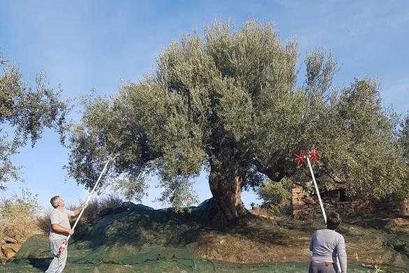 Δυτική Ελλάδα: Μαύροι οιωνοί για το λάδι της φετινής χρονιάς - Σε απόγνωση οι αγρότες
