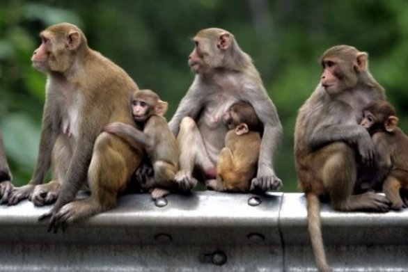 ΗΠΑ: Χρησιμοποιούν ως πειραματόζωα περισσότερες μαϊμούδες από ποτέ