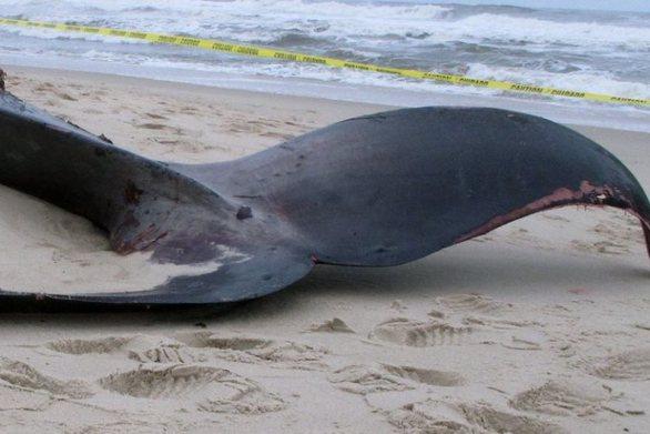 Ινδονησία: Βρέθηκε νεκρή φάλαινα με πλαστικά απόβλητα στο στομάχι της