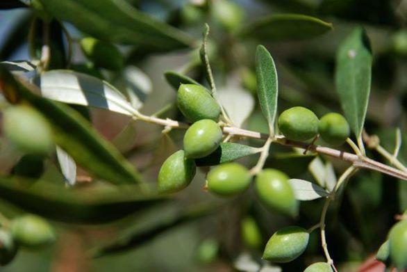 Όραμα για την Δυτική Αχαΐα: «Τι πρέπει να κάνουμε τώρα για τις ελιές του χρόνου»