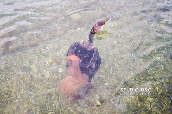 Ένας κορμοράνος... στα πλοκάμια ενός χταποδιού (φωτο+video)