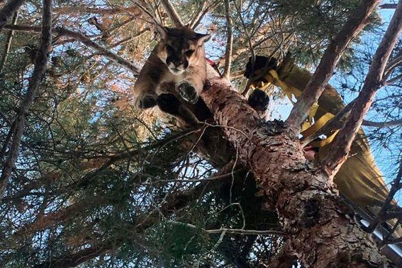 Λιοντάρι παγιδεύτηκε σε δέντρο ύψους 15 μέτρων