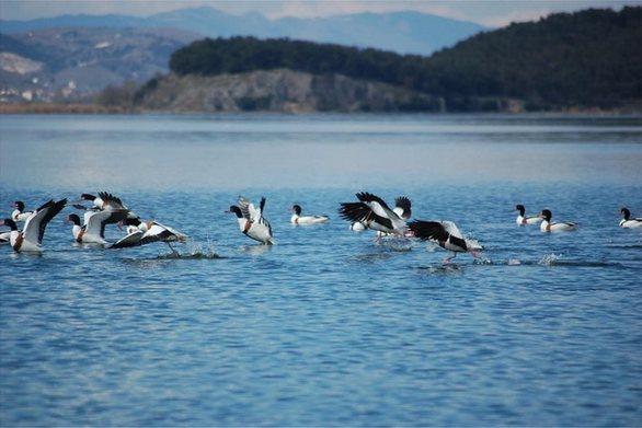 Εντυπωσιακές εικόνες με τις χηνόπαπιες στην λίμνη Παμβώτιδα