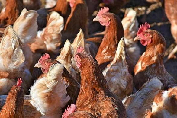 Θανάτωσαν 12.000 πουλερικά στη Βουλγαρία