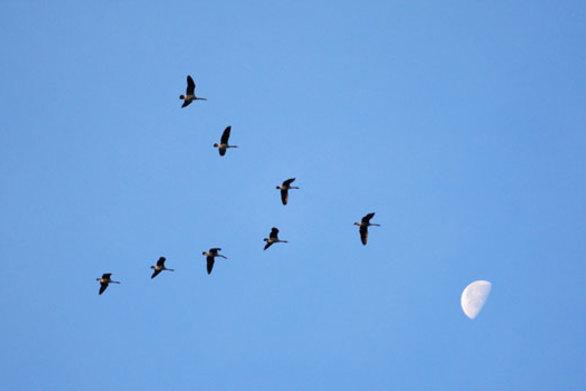 Ο λόγος που τα πουλιά πετούν σε σχηματισμό V