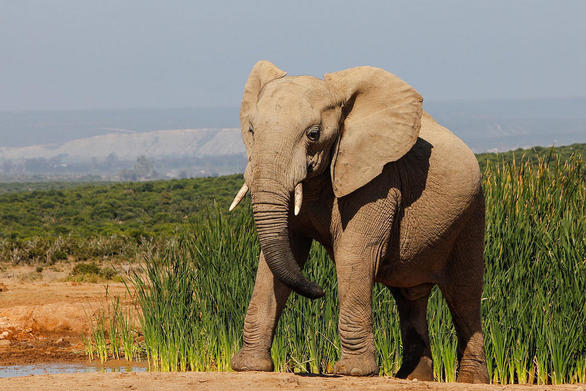 Επιτρέπεται και πάλι το κυνήγι ελέφαντα στην Αφρική ενόψει... εκλογών