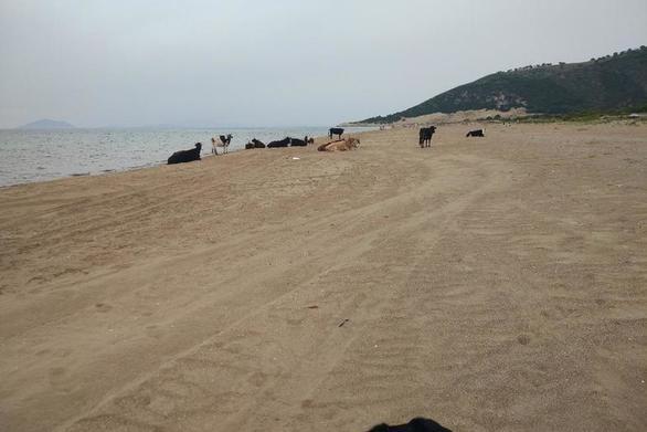 """Οι αγελάδες """"αράζουν"""" στην δημοφιλή παραλία της Καλόγριας"""