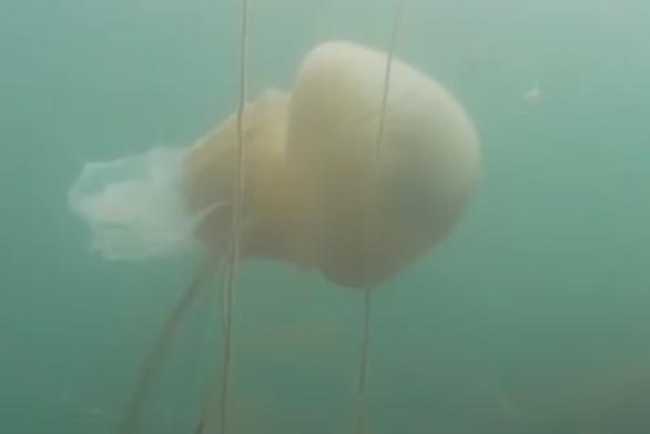 Δύτες αντίκρισαν τεράστια μέδουσα με μήκος 1,5 μ. (video)