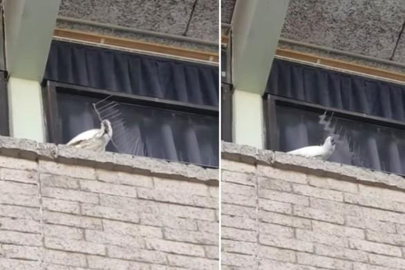 Παπαγάλος αφαιρεί απωθητικά περιστεριών! (video)