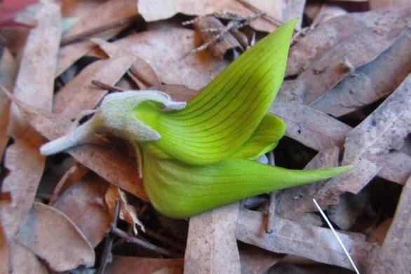 Ένα παράξενο φυτό με φύλλα που μοιάζουν με πουλιά