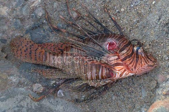 Λεοντόψαρο εμφανίστηκε σε τουριστική παραλία στα Χανιά