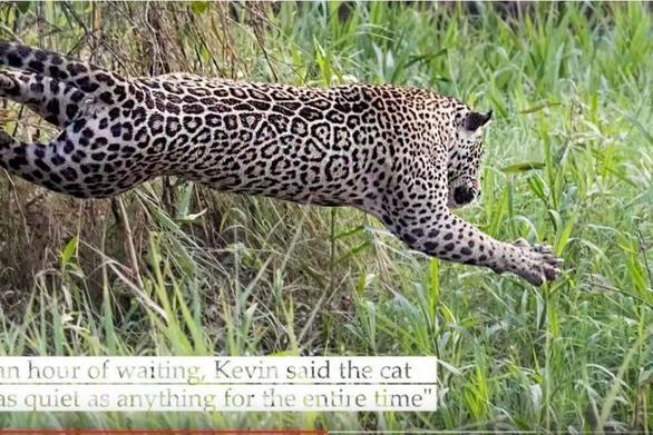 Ιαγουάρος επιτίθεται σε κροκόδειλο σε μια μάχη μέχρις εσχάτων (video)